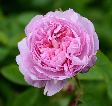 Rose de Damascena