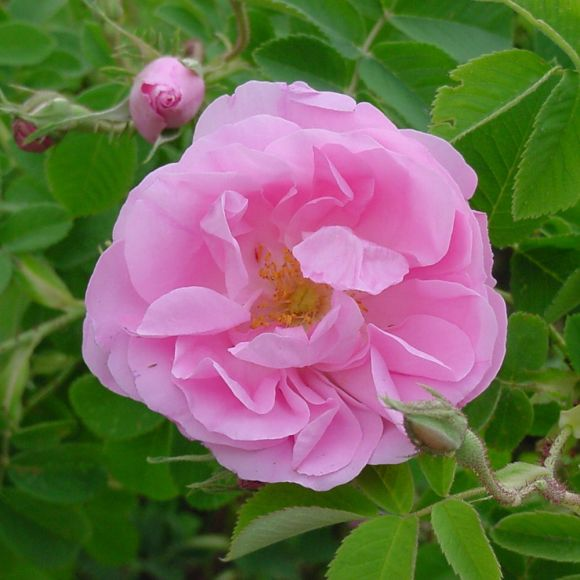 comptoir de la rose rose rose de Centifolia de damascena épices à la rose