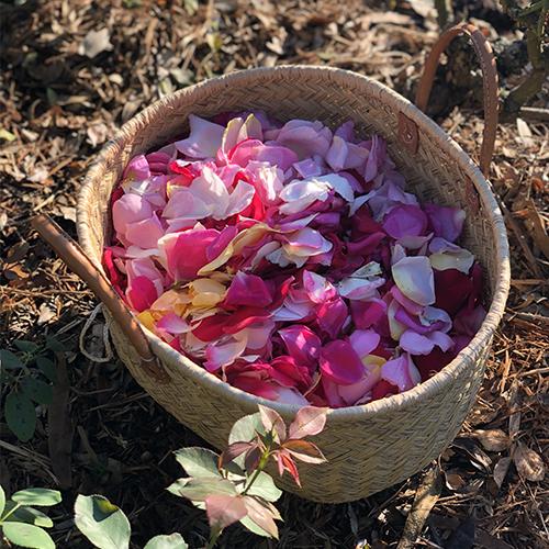 Recolte-rose-de-grasse-Comptoir-de-la-rose