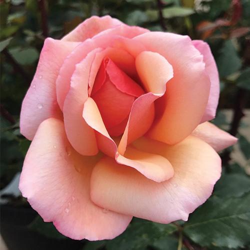 comptoir de la rose rosier tango rose de vence